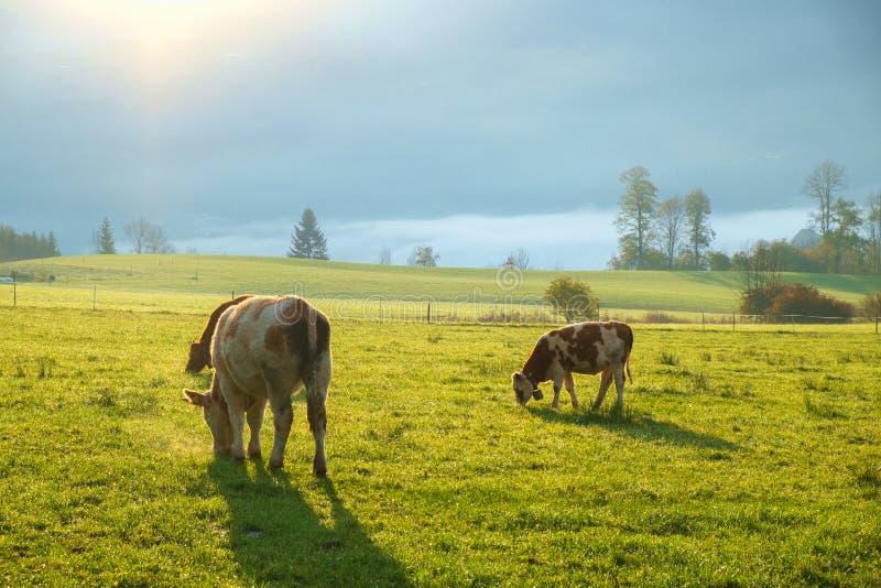 Αγελάδες που βόσκουν σε ένα πράσινο πολύβλαστο λιβάδι στοκ εικόνα