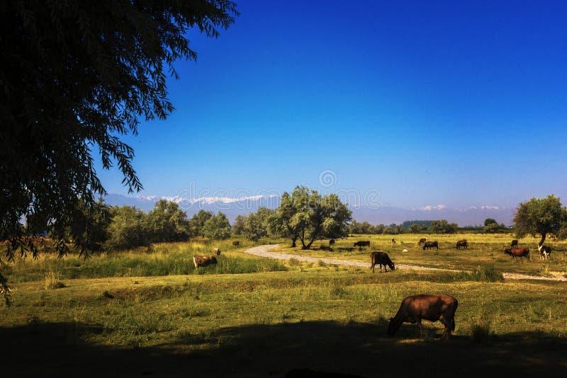 Αγελάδες που βόσκουν στα λιβάδια, ενάντια στο σκηνικό των υψηλών βουνών που καλύπτονται στα άσπρα σύννεφα στοκ εικόνα με δικαίωμα ελεύθερης χρήσης