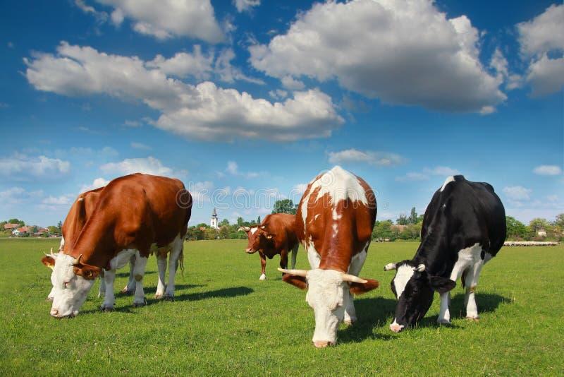 Αγελάδες που βόσκουν στο λιβάδι στοκ εικόνα με δικαίωμα ελεύθερης χρήσης