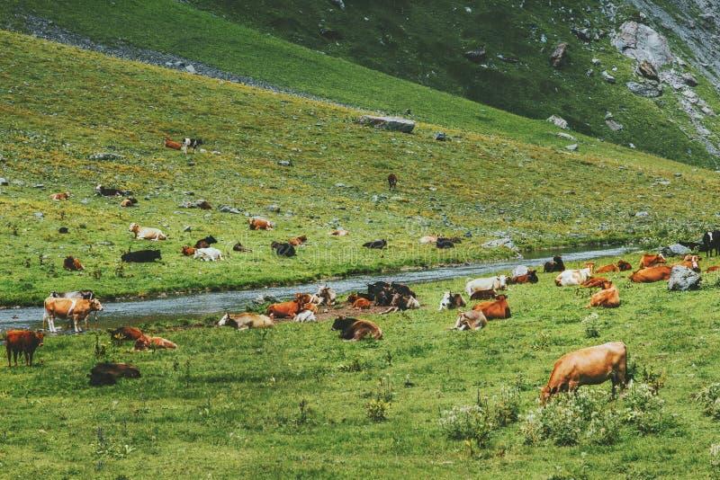 Αγελάδες που βόσκουν το αγρόκτημα στην αλπική πράσινη κοιλάδα βουνών στοκ φωτογραφία