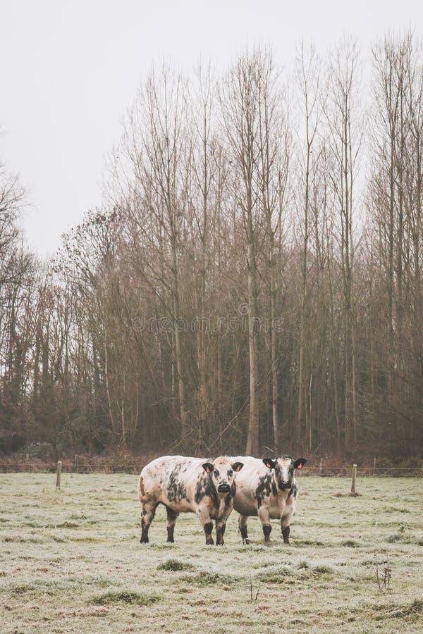 2 αγελάδες που εξετάζουν σας στοκ φωτογραφίες