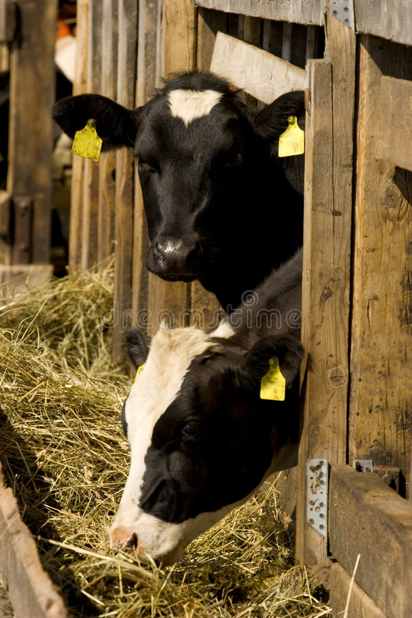 αγελάδες που ταΐζουν τη θέση στοκ εικόνες
