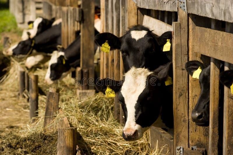 αγελάδες που ταΐζουν τ&et στοκ εικόνες