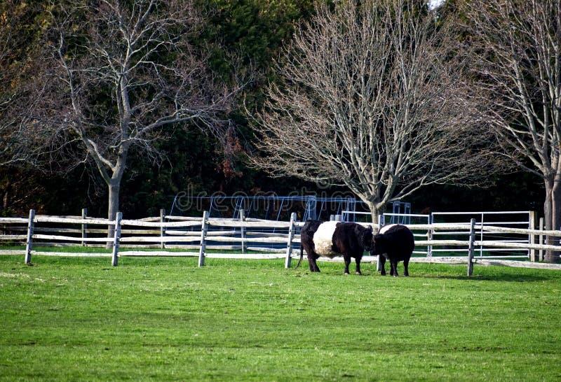 Αγελάδες σε ένα αγρόκτημα στοκ εικόνα με δικαίωμα ελεύθερης χρήσης