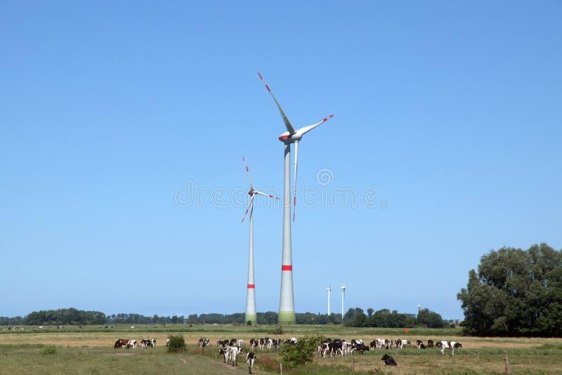 Αγελάδες σε ένα λιβάδι στοκ εικόνες