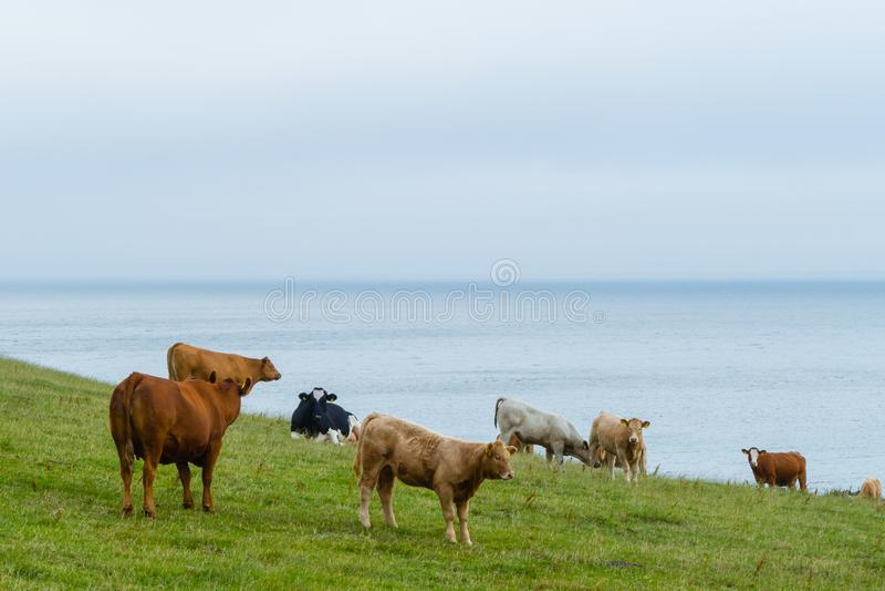 Αγελάδες στην ιρλανδική ατλαντική ακτή στοκ εικόνες με δικαίωμα ελεύθερης χρήσης