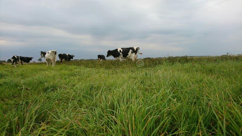 Αγελάδες στη νεφελώδη ημέρα στοκ εικόνες με δικαίωμα ελεύθερης χρήσης