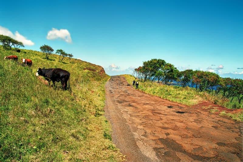Αγελάδες στο δρόμο στη Hana, Maui, Χαβάη στοκ εικόνες