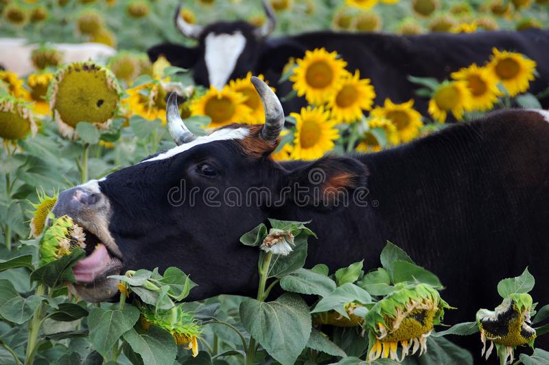 Αγελάδες των Μαύρων και Whire στοκ φωτογραφία με δικαίωμα ελεύθερης χρήσης