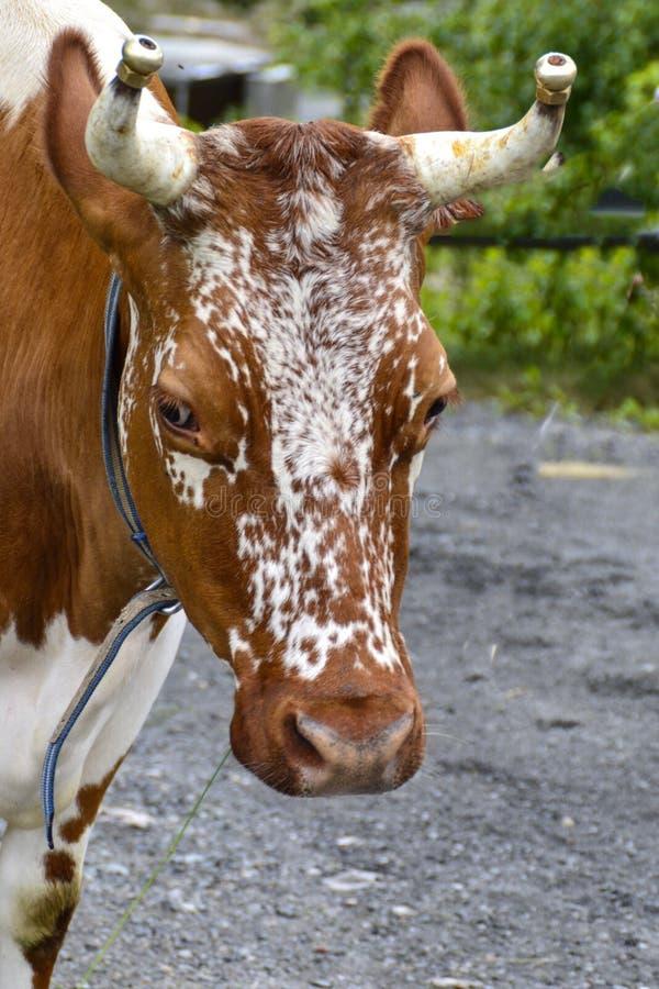 Αγελάδα από Telemark στη Νορβηγία στοκ εικόνες με δικαίωμα ελεύθερης χρήσης