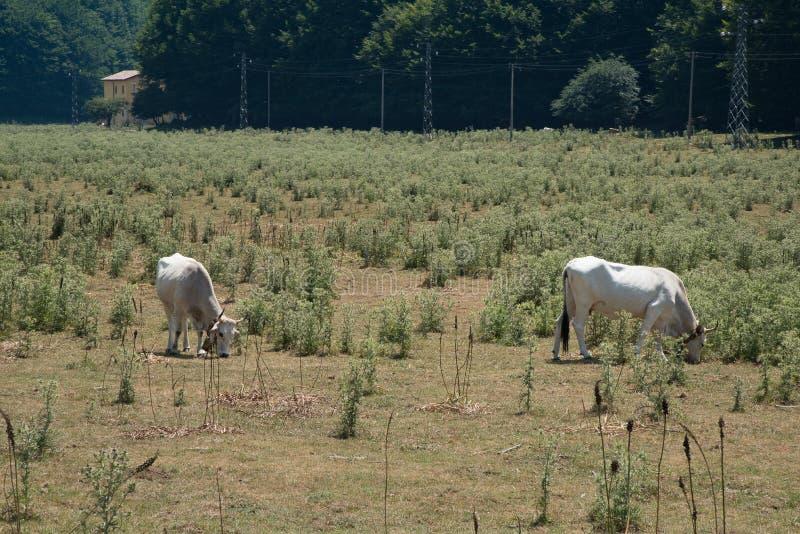 Αγελάδα και λιβάδια Irpinia apennines ιταλικά Campania Νότος Ita στοκ εικόνα με δικαίωμα ελεύθερης χρήσης