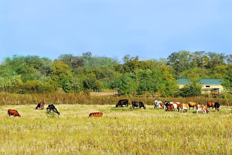 Αγελάδα και μόσχοι κοντά στο σπίτι στοκ εικόνες με δικαίωμα ελεύθερης χρήσης