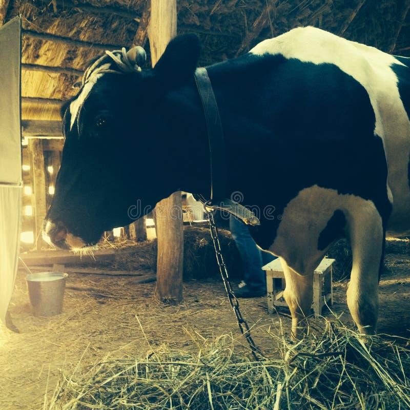 Αγελάδα και σανός στοκ εικόνα
