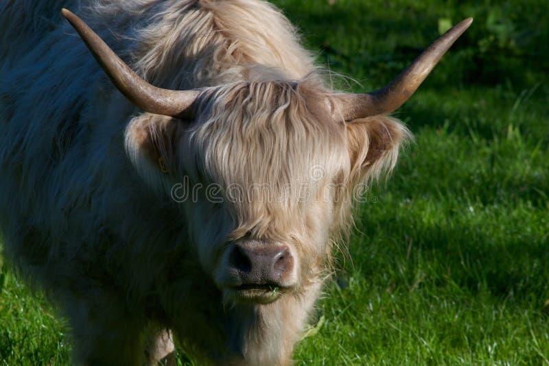 Αγελάδα ορεινών περιοχών στοκ φωτογραφίες