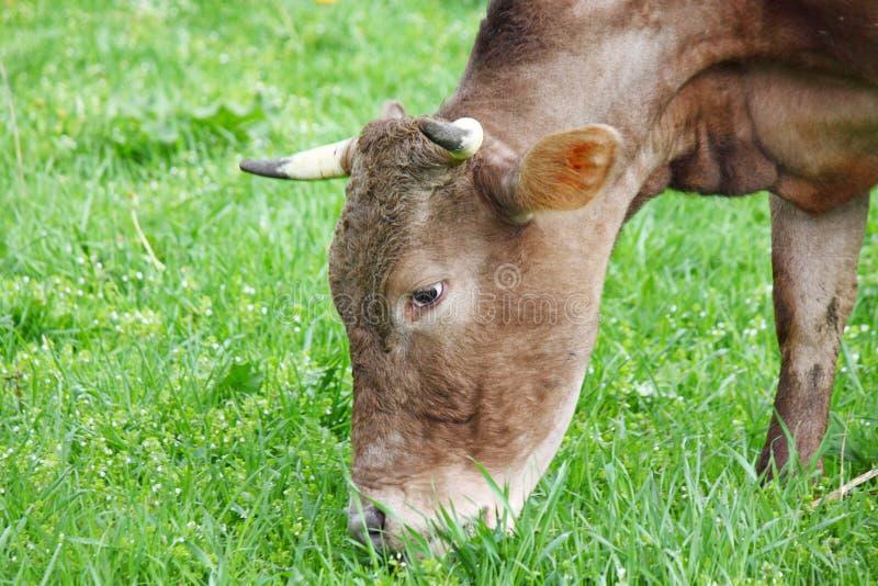 Αγελάδα που τρώει τη χλόη στοκ φωτογραφίες με δικαίωμα ελεύθερης χρήσης