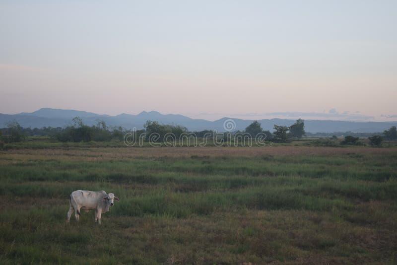 Αγελάδα σε έναν ξηρό τομέα ρυζιού και χλόες με το υπόβαθρο βουνών στοκ φωτογραφία με δικαίωμα ελεύθερης χρήσης
