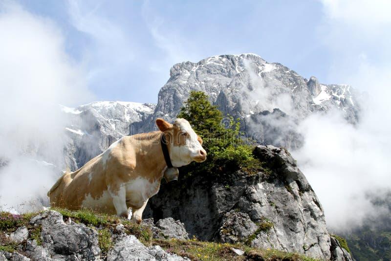 Αγελάδα στο ομιχλώδες βουνό στοκ εικόνες