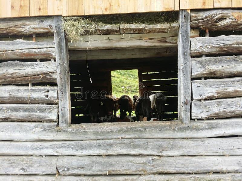 Αγελάδα της Αυστρίας στοκ φωτογραφία με δικαίωμα ελεύθερης χρήσης