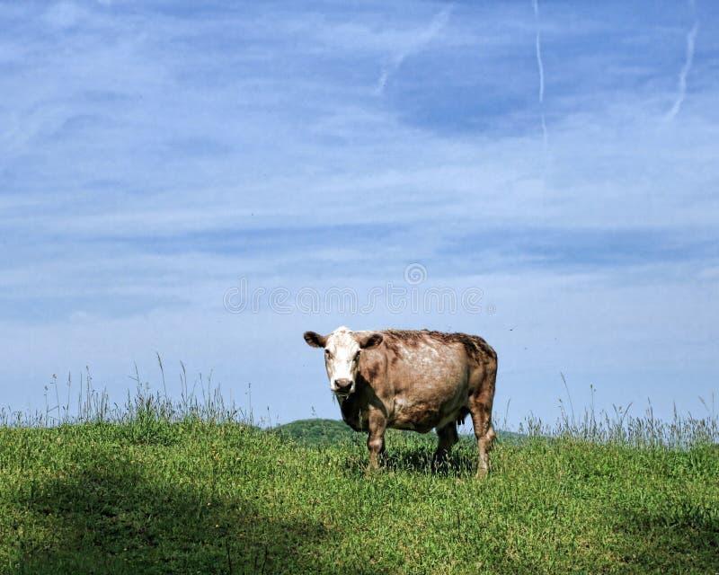 Αγελάδα της Tan στοκ φωτογραφίες με δικαίωμα ελεύθερης χρήσης