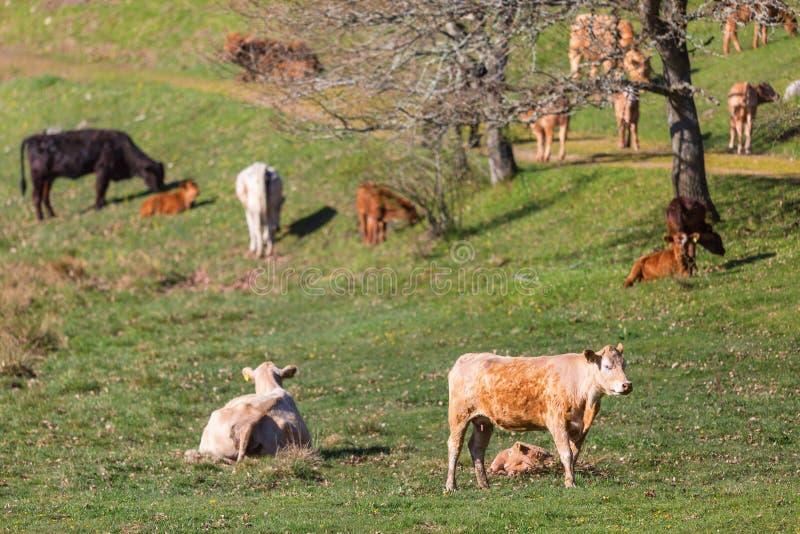 Αγελάδες και μόσχοι σε έναν τομέα στοκ εικόνες με δικαίωμα ελεύθερης χρήσης