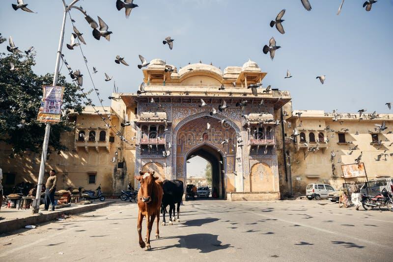 Αγελάδες και πουλιά στην οδό στο Jaipur στοκ εικόνες