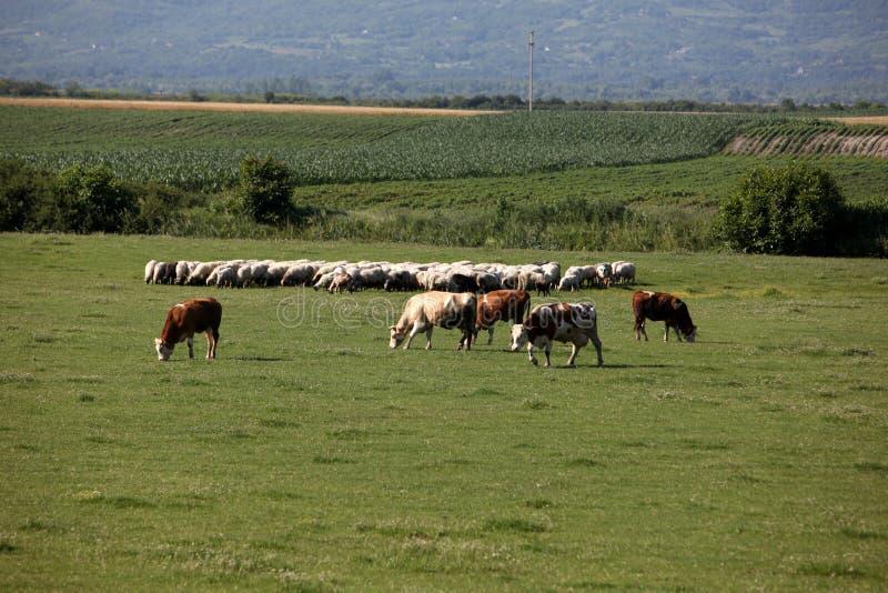 Αγελάδες και πρόβατα στο λιβάδι στοκ εικόνα με δικαίωμα ελεύθερης χρήσης