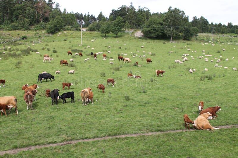 Αγελάδες και sheeps στοκ φωτογραφία με δικαίωμα ελεύθερης χρήσης