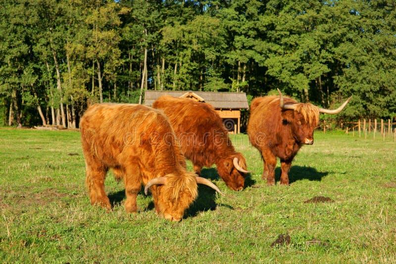 Αγελάδες, κόκκινος ταύρος βοοειδών ορεινών περιοχών σκωτσέζικος γαελικός νέος και δύο αγελάδες στο λιβάδι στοκ εικόνες