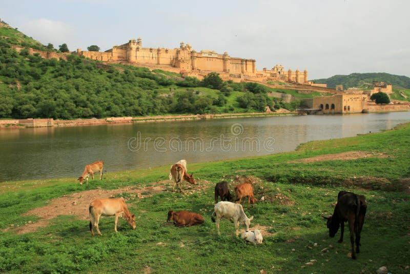 Αγελάδες που βόσκουν από Maota Lake, μπροστά από το ηλέκτρινο οχυρό, το Jaipur, Rajasthan, Ινδία στοκ φωτογραφίες