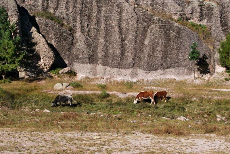 Αγελάδες που βόσκουν κάτω από τους σχηματισμούς βράχου των φαραγγιών χαλκού, Chihuahua, στοκ εικόνα