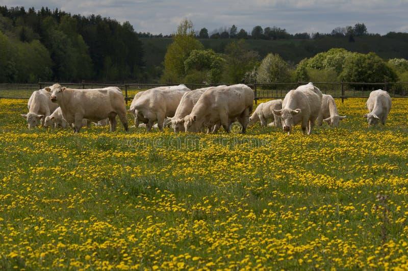 αγελάδες που βόσκουν το λευκό στοκ εικόνα
