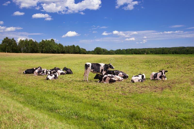 αγελάδες που βόσκουν το λιβάδι στοκ εικόνα με δικαίωμα ελεύθερης χρήσης
