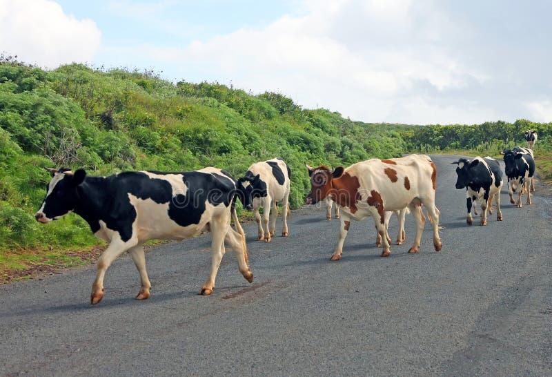 Αγελάδες που διασχίζουν το δρόμο στοκ εικόνες