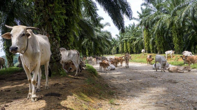 Αγελάδες που κρεμούν έξω στο δρόμο ζουγκλών στοκ φωτογραφία με δικαίωμα ελεύθερης χρήσης