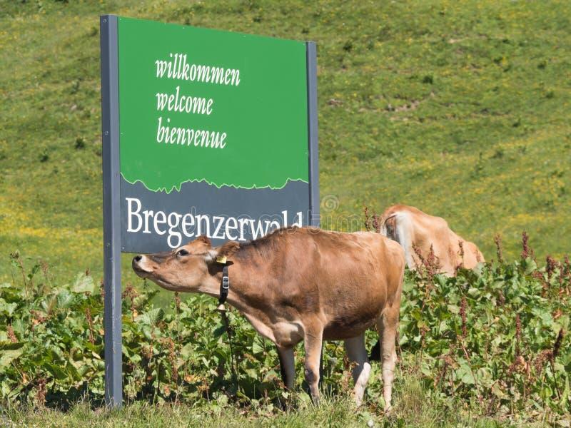 Αγελάδες που στέκονται γύρω από το σημάδι Bregenzwald στοκ φωτογραφίες με δικαίωμα ελεύθερης χρήσης