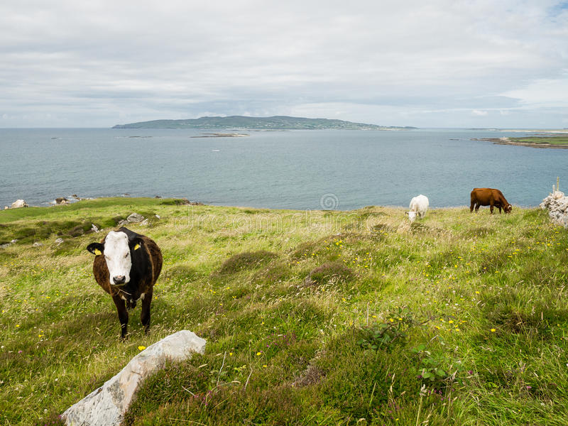 Αγελάδες σε έναν τομέα στην ακτή Maghery, Donegal στοκ φωτογραφία με δικαίωμα ελεύθερης χρήσης