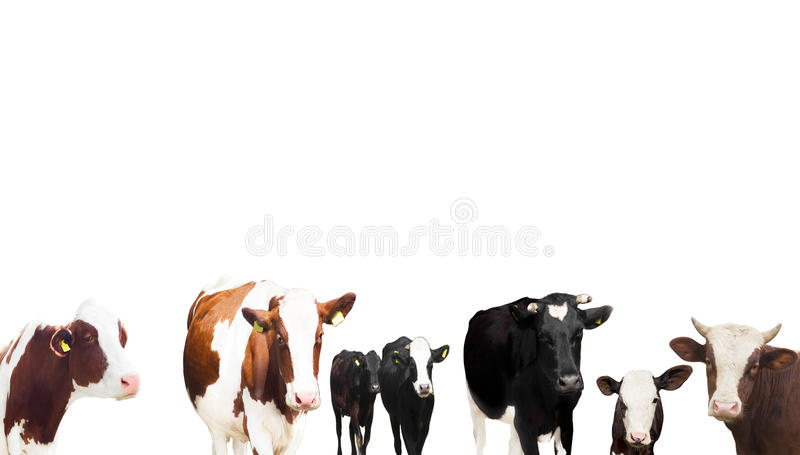 Αγελάδες σε ένα άσπρο υπόβαθρο στοκ φωτογραφίες με δικαίωμα ελεύθερης χρήσης