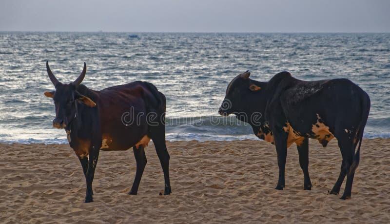 Αγελάδες στην παραλία Baga στοκ εικόνες με δικαίωμα ελεύθερης χρήσης