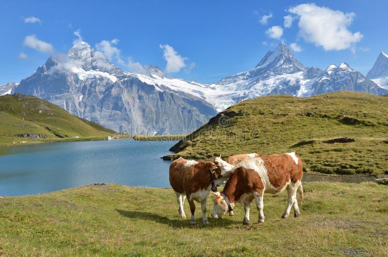 Αγελάδες στο αλπικό λιβάδι στοκ εικόνες