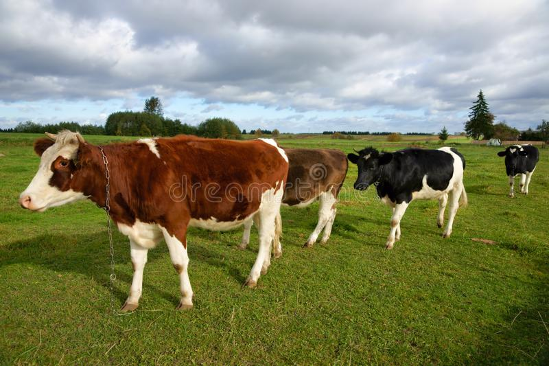 Αγελάδες, τέσσερις αγελάδες στο λιβάδι και στα διαφορετικά χρώματα στοκ φωτογραφίες