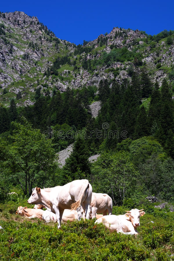 Αγελάδες των Πυρηναίων στοκ φωτογραφία με δικαίωμα ελεύθερης χρήσης
