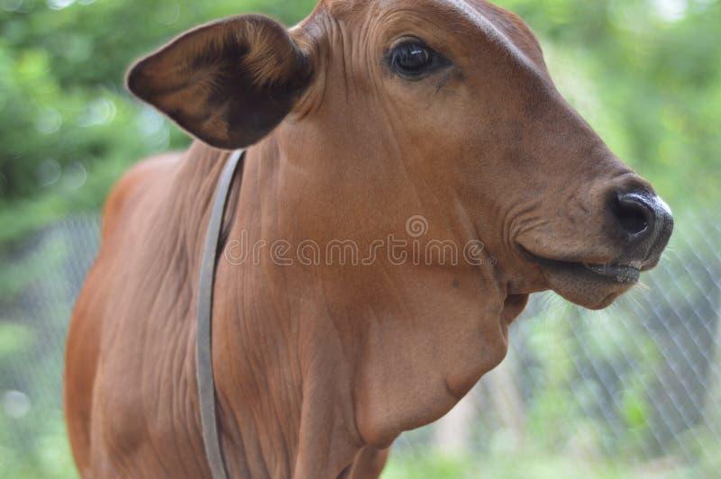 Αγελάδες στοκ φωτογραφίες