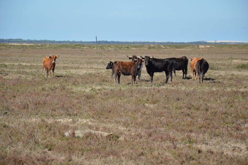 Αγελάδες Marismeñas στοκ φωτογραφία με δικαίωμα ελεύθερης χρήσης
