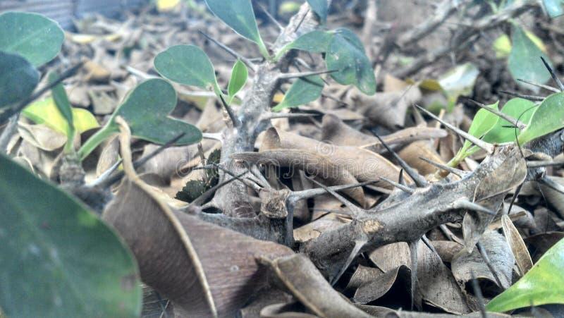 Αγκάθια μεταξύ των ξηρών φύλλων στοκ φωτογραφίες