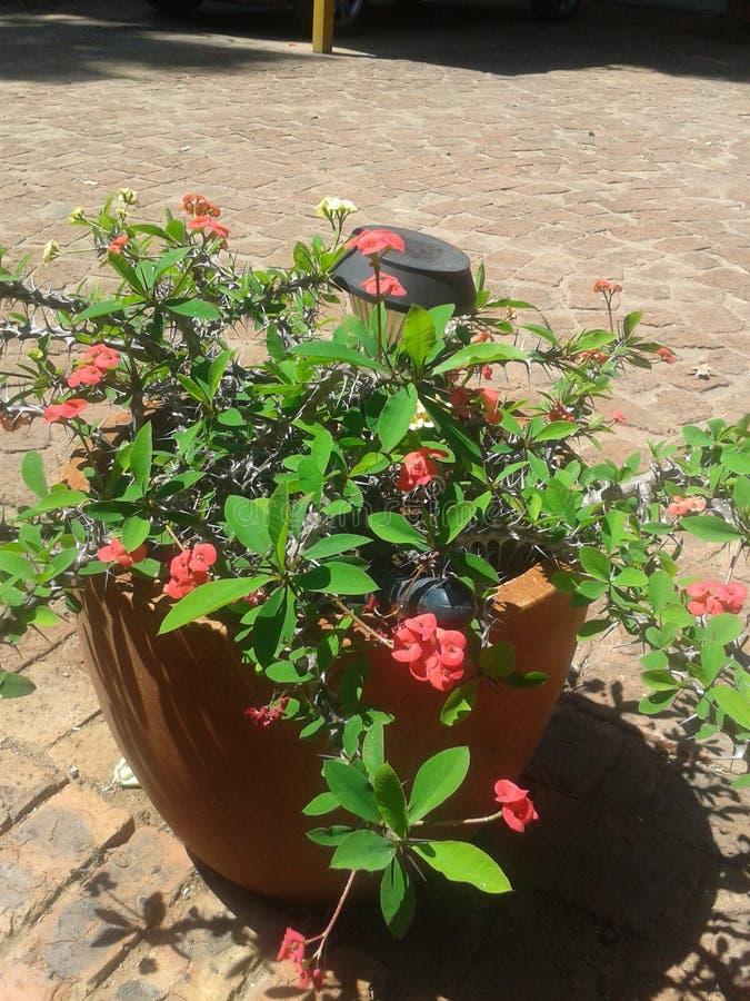 Αγκάθια τριαντάφυλλων ν στοκ εικόνα