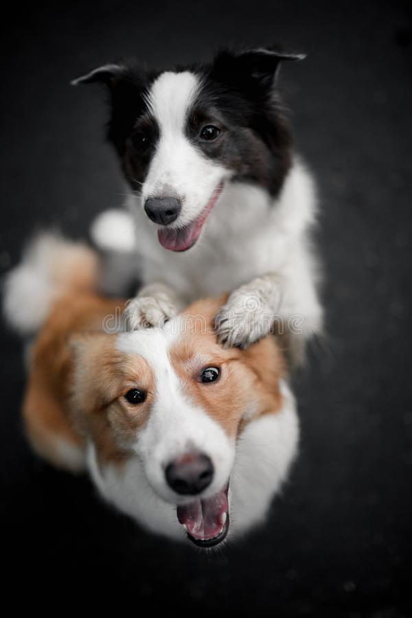 Αγκάλιασμα δύο μαύρο και κόκκινο κόλλεϊ συνόρων σκυλιών μεταξύ τους στοκ φωτογραφίες