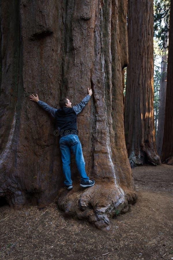 Αγκάλιασμα γιγαντιαίου sequoia στοκ εικόνα με δικαίωμα ελεύθερης χρήσης
