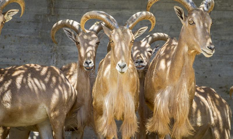 Αγριοκάτσικο, ομάδα αιγών βουνών, οικογενειακά θηλαστικά με τα μεγάλα κέρατα στοκ φωτογραφία με δικαίωμα ελεύθερης χρήσης
