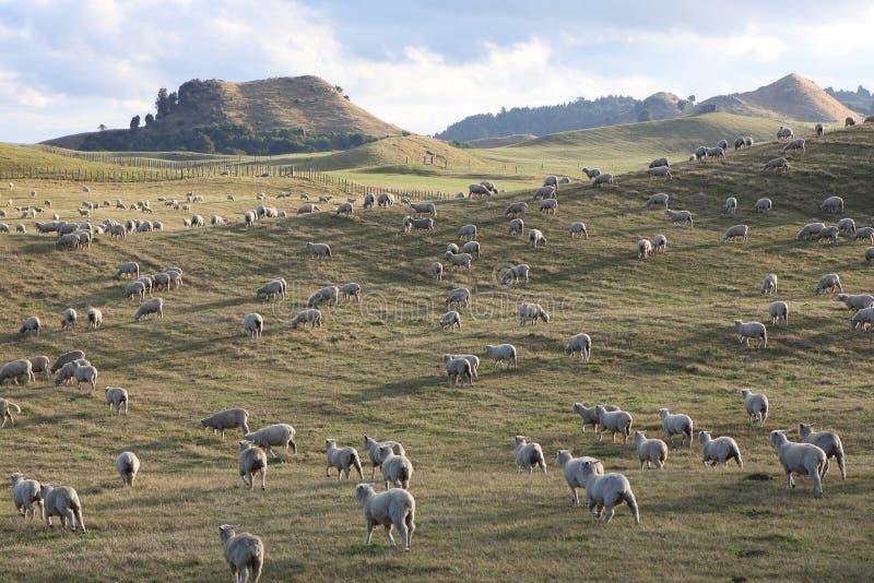 αγροτικά νέα πρόβατα Ζηλαν&de στοκ φωτογραφία με δικαίωμα ελεύθερης χρήσης
