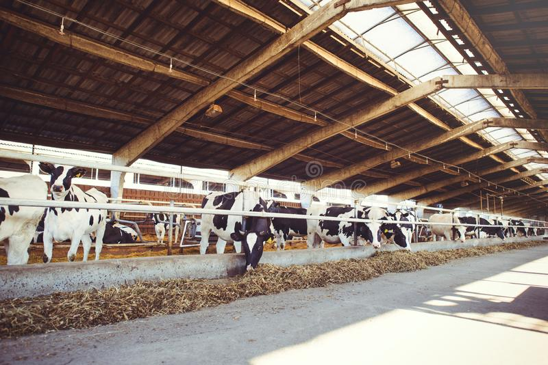 Αγροτική έννοια αγελάδων της γεωργίας, της γεωργίας και του ζωικού κεφαλαίου - ένα κοπάδι των αγελάδων που χρησιμοποιούν το σανό  στοκ εικόνα